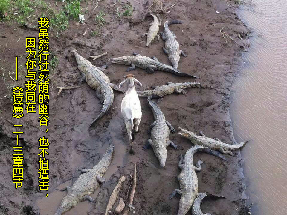 A goat walking through a river bank full of crocodiles. Psalms 23:4 is written on the left side of the photo as an interpretation of the scene.